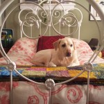 iron bed - dog